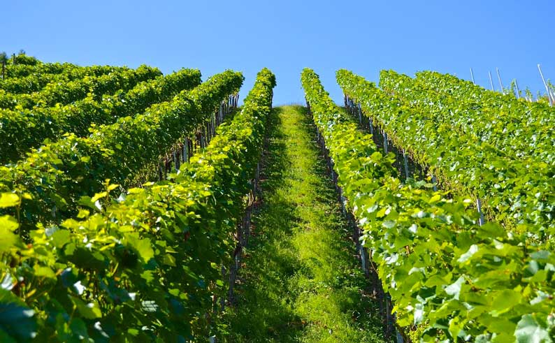 L'histoire du vin du Languedoc